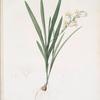 Gladiolus Xanthospilus