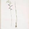 Gladiolus orobanche