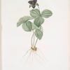 Trillium rhomboideum