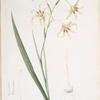 Gladiolus cuspidatus