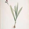 Gladiolus mucronatus