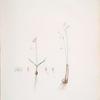 Leucoïum trichophyllum