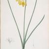 Narcissus odorus