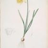Narcissus pseudo-narcissus