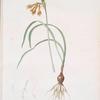 Pancratium croceum
