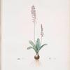 Scilla obtusifolia