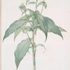 Commelina zanonia