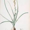 Hyacinthus serotinus