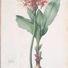 Haemanthus multiflorus