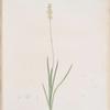 Tofieldia pubescens
