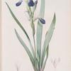Iris amoena