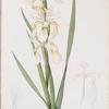 Iris ochroleuca