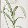 Sisyrinchium palmifolium