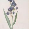 Iris plicata