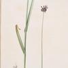 Allium arenarium