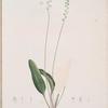 Eriospermum lanceaefolium