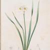 Narcissus biflorus