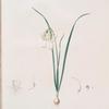 Narcissus calathinus