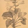 Hemerocallis japonica