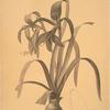 Amaryllis Fomossissima