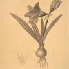 Amaryllis reginae