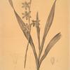 Gladiolus merianus