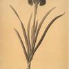 Cypripedium flavescens