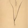 Lachenalia pallida