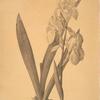 Iris germanica var. floretina