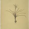 Amaryllis atamasco