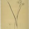 Ixia longiflora