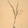 Gladiolus inclinatus