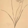 Gladiolus lineatus