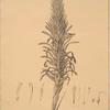 Pitcairnia latifolia