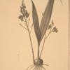 Limodorum purpureum
