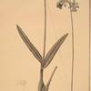 Epidendrum bifidum