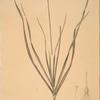 Allium tartaricum