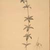 Lilium penduliflorum