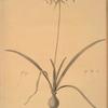 Amaryllis undulata