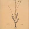 Gladiolus junceus