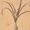 Amaryllis lutea