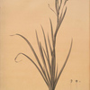Sisyrinchium Bermudiana