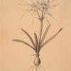 Pancratium disciforme