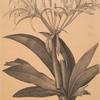 Pancratium speciosum