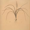 Lachenalia angustifolia