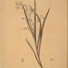 Diasia graminifolia