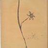 Sisyrinchium elegans