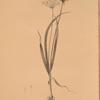 Allium ciliare