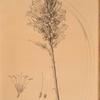Agave yuccaefolia