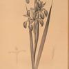 Iris spuria ; Iris batarde